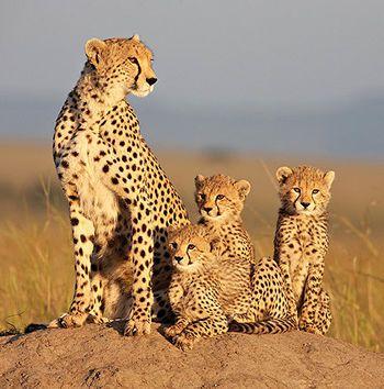 Felinos de África - Disney Nature