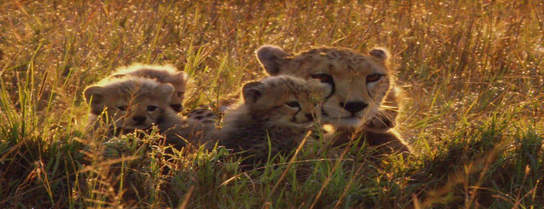 En el mes de la Tierra, Cine para recordar: Felinos de África